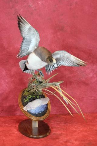 Nate Miller - Masters Competitor's Award & McKenzie's Taxidermy Choice for Best Bird
