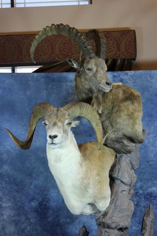 Garrett Sunram ~ State Champion Gamehead (Marco Polo Sheep)