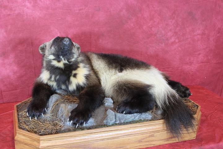 Ron Grams - Best All Around Taxidermist sponsored by Matuska Taxidermy Supply, McKenzie's Taxidermist Choice Best Lifesize Mammal