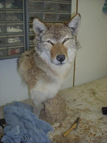 Kelsey Plummer's coyote drying.