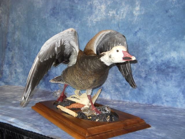 Best Professional Waterfowl, Best Large Waterfowl, Best Professional Entry