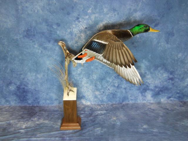 State Champion Waterfowl, Master's Competitor's Award Sponsored by Matuska Taxidermy Supply, Best Small Waterfowl