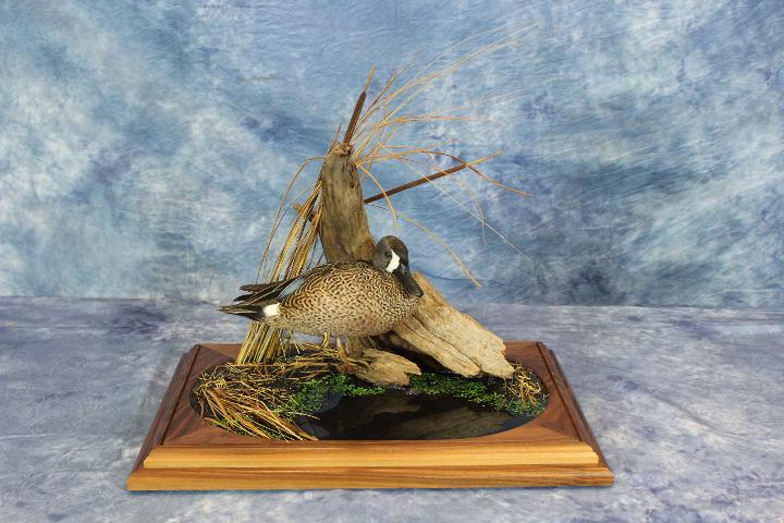 Matt Tainter Blue Wing Teal - Masters Competitor's Award Sponsored by Matuska Taxidermy Supply