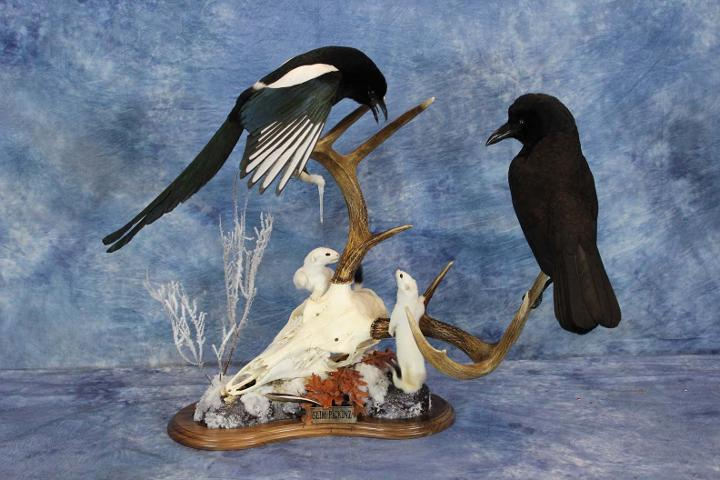 Magpie - McKenzie's Taxidermist Choice Best Bird