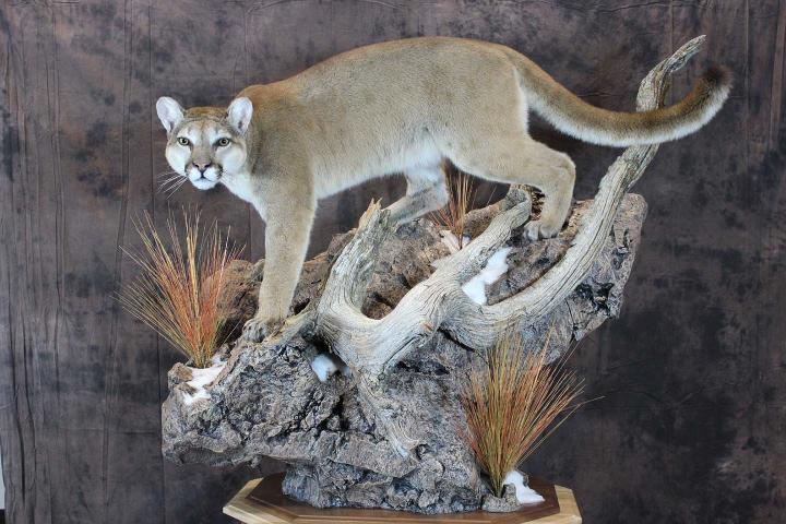 Mountain Lion - Artisan Award, McKenzie's Taxidermist Choice Best Lifesize Mammal