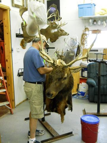 Elk Shoulder Mount Sewing