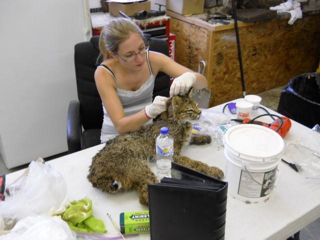 Sewing Bobcat