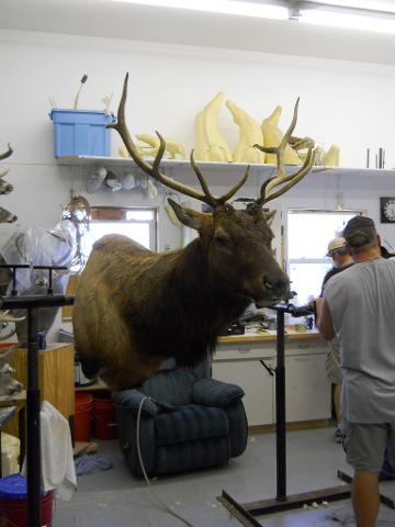 Elk Finished