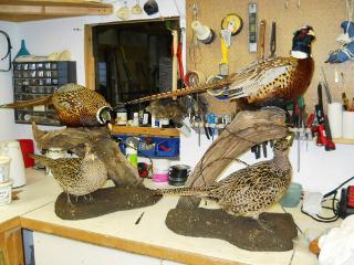 Pheasants Complete! Nate Miller