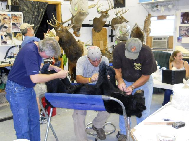 Sewing the lifesize black bear!