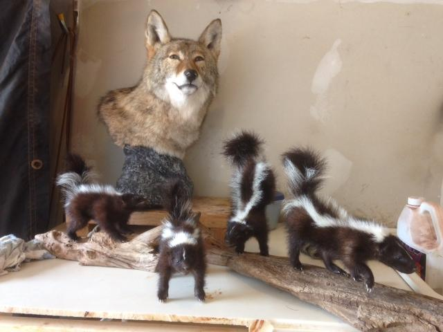 The coyote pedestal and most of the skunks ready to dry!