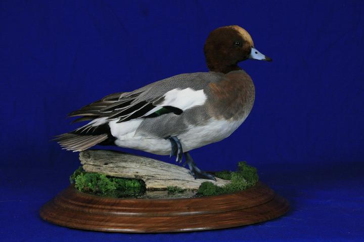 Best Mount On Walnut Creek Hardwood Panel - Dan Braaton European Widgeon