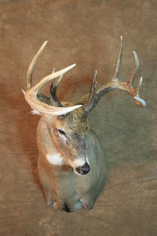 Celebrity's Choice - Randy Wold WT Deer