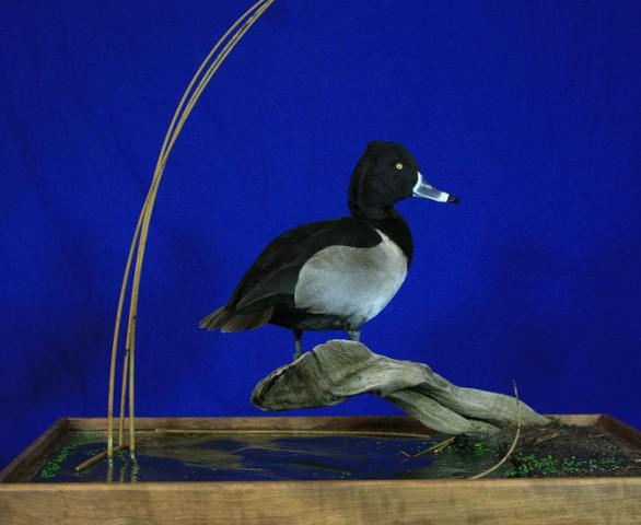 Competitor's Award Masters - Rob Christensen Greater Scaup