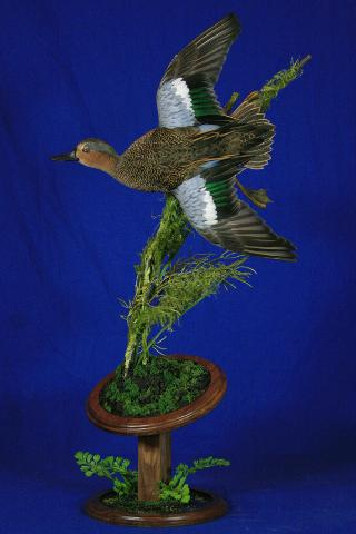 Judges Choice Best of Show, State Champion Waterfowl,Best Small Waterfowl Nate Miller - Bluewing Teal Cross