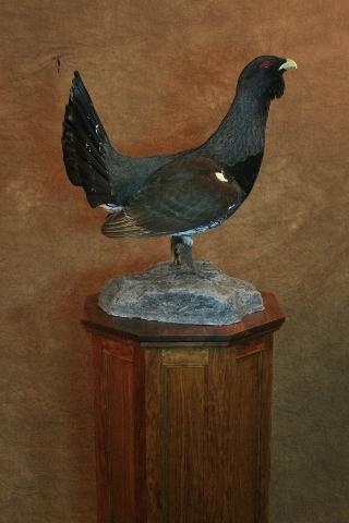 State Champion Upland Game Bird, Competitor's Award Master, Best Upland Gamebird - Rob Christensen Capercaillie