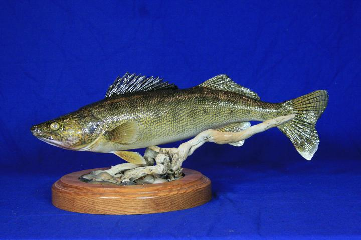 State Champion Fish, Best Warm Water Fish - Wayne Zespy Walleye