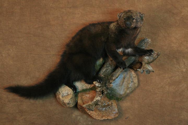 State Champion Small Mammal, Best All Around Taxidermist - Jeff Specht, Fisher