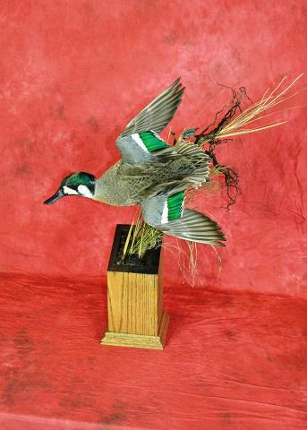 911-E Green Wing Teal by Nate Miller.