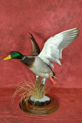 Best Professional Waterfowl, Mallard by Jim Temple