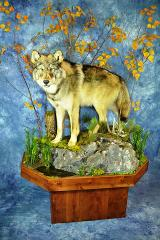 Taxidermist Choice Best Life Size Mammal, Masters Competitor Award, Peoples Choice, Celebrity Choice, Best Habitat, Artisan Award - Wolf by Tom Hanson