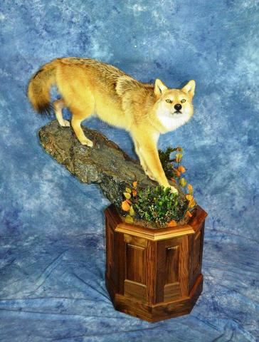 Masters Division: Life size Coyote by Bob Christianson
