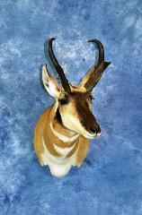 Antelope by Adam Zwick