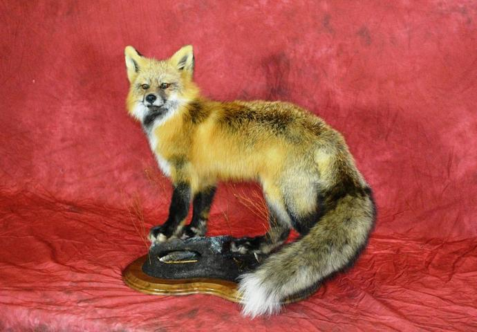 Best Novice Mount, Best Novice Mounted on a Walnut Creek Panel. Red Fox by Nicholas Christianson