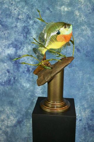 Wasco Award - Masters Division Bluegill by Scott Verhunce