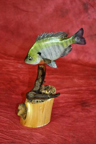 Blue Gill Reproduction by Drew Jacobson