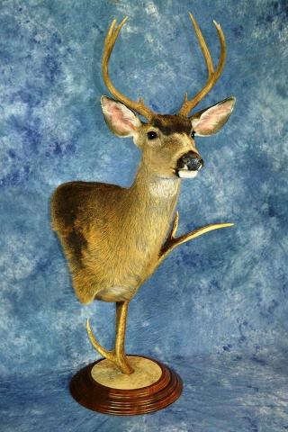 Masters Division: Blacktail Deer Gamehead by Scott Verhunce