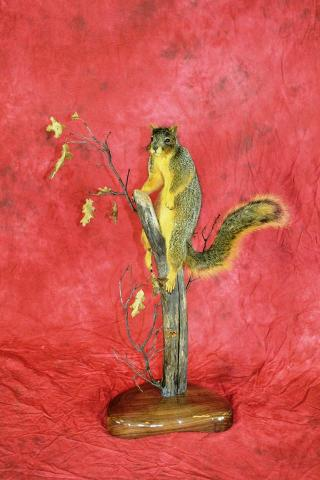 State Champion Small Mammal, Best Small Mammal - Fox Squirrel by Royce Larson