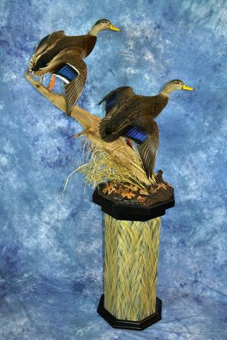 Blackduck and Blackduck/mallard cross by Nate Miller