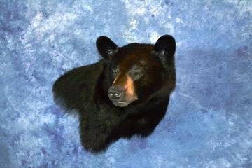 Best Professional Gamehead, Black Bear by Erin Krings