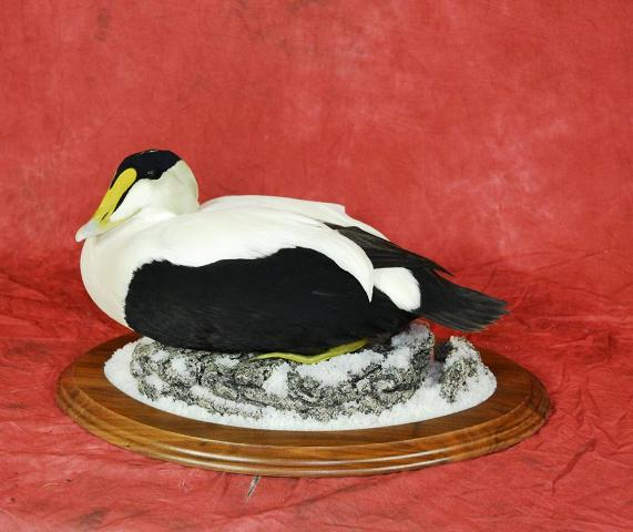 Masters Entry: Common Eider by David Schmidt
