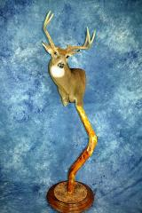State Champion Whitetail Deer, Best Mount on a Walnut Creek Panel, Best Whitetail, by Scott Verhunce