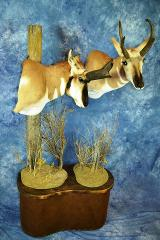 Taxidermists Choice Best Gamehead, Masters Competitors Award - Antelope by Tom Hanson