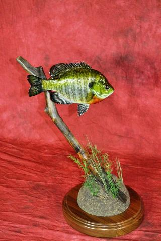 Masters Division: Blue Gill by Drew Jacobson