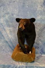 black bear by Kristian Seibery