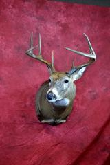 Commercial whitetail deer by Adam Zwick