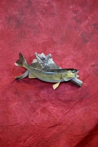 Walleye by Adam Zwick