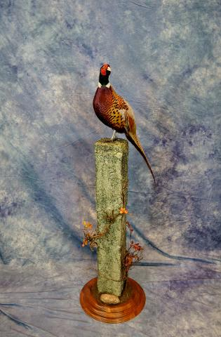 Pheasant by Duncan Price