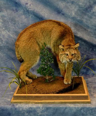 Bobcat by Nicholas Christianson