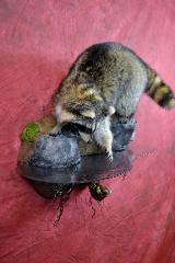 Raccoon by Mark Mayer