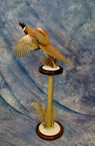 Pheasant by Aaron Reiling