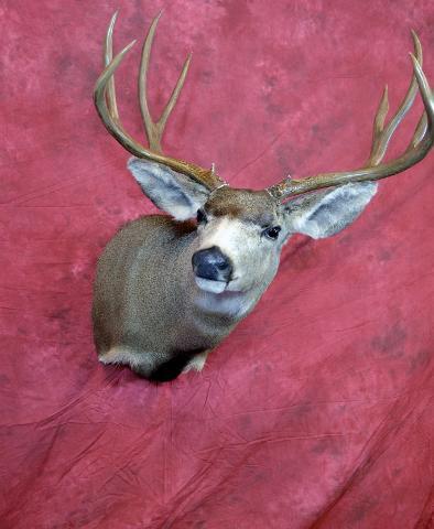 Mule Deer by Daniel Blanch