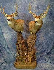 Mule Deer by Nick Generux