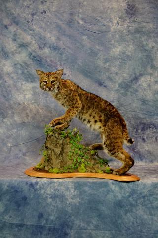 Bobcat by Leland Ledford