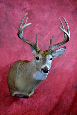 Whitetail Deer by Nick Generux