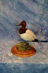 Canvasback by Jim Temple